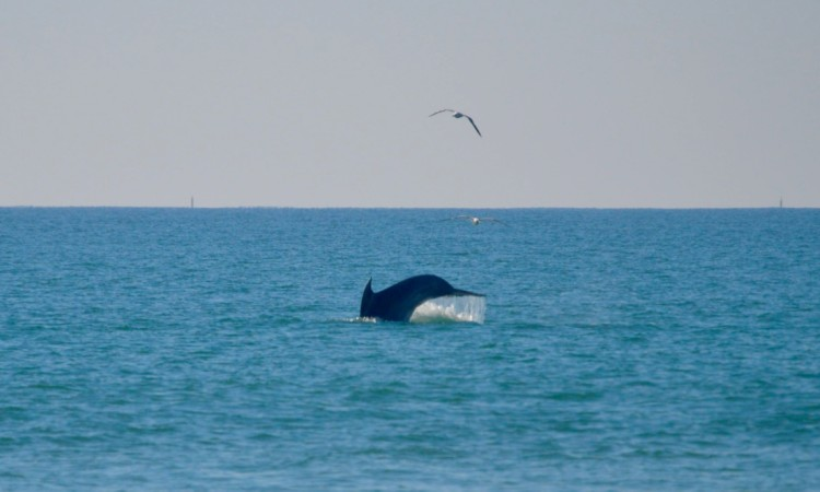 Biólogo marinho Élio Vicente explicou que é normal os golfinhos perseguirem cardumes próximo de terra (®PauloMarcelino)