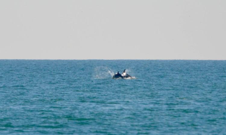 Pelo menos uma cria acompanhava os golfinhos, o que é um sinal de saúde do grupo (®PauloMarcelino)