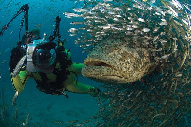 Mero já foi comum na costa sul algarvia, mas agora está quase extinto. É uma espécie emblemática para o mergulho recreativo (®MichaelPatrickO'Neill)